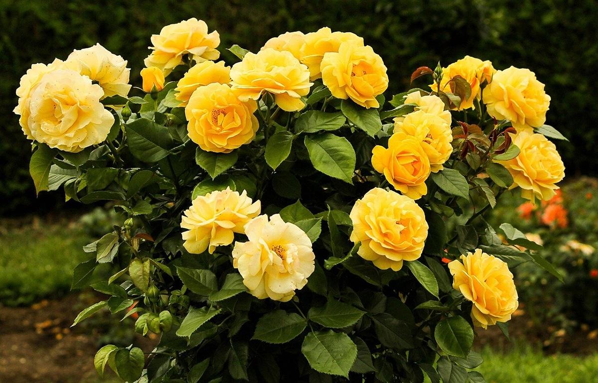 Plantar rosales mediante esquejes es la forma más económica