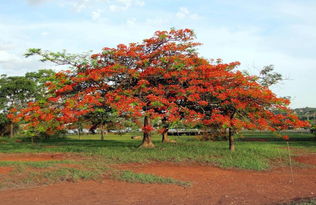 El flamboyan es un árbol de hoja cduca
