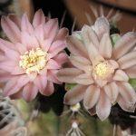 El Gymnocalycium mihanovichii es un cactus de interior