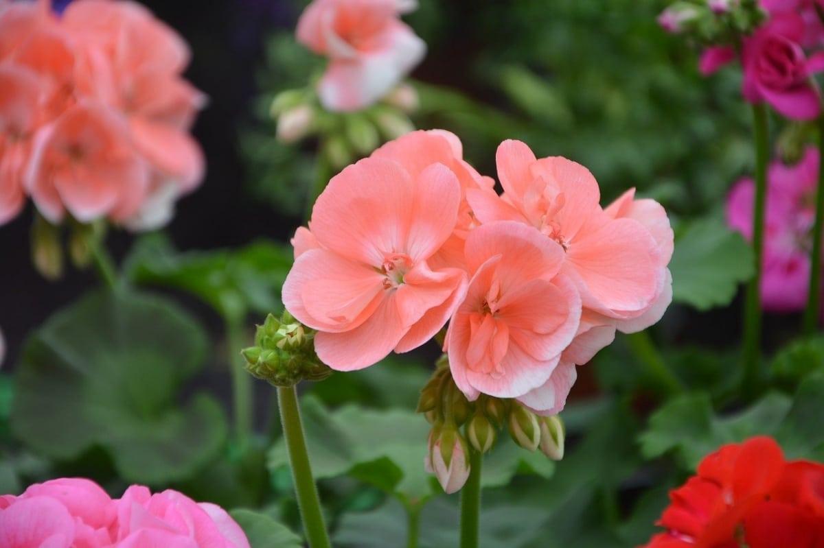 Los geranios son plantas perfectas para jardineras