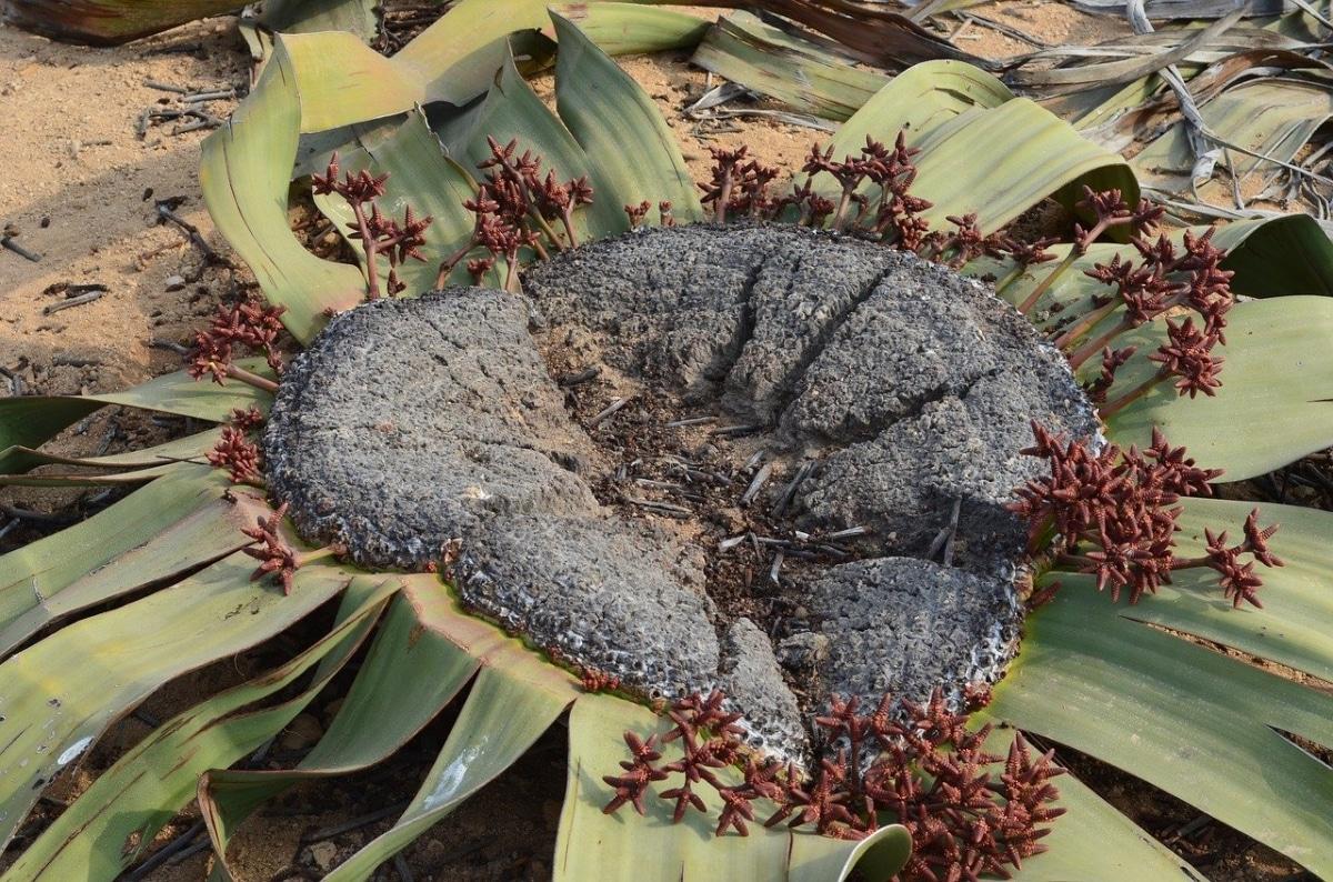 La Welwitschia florece pocas veces en su vida