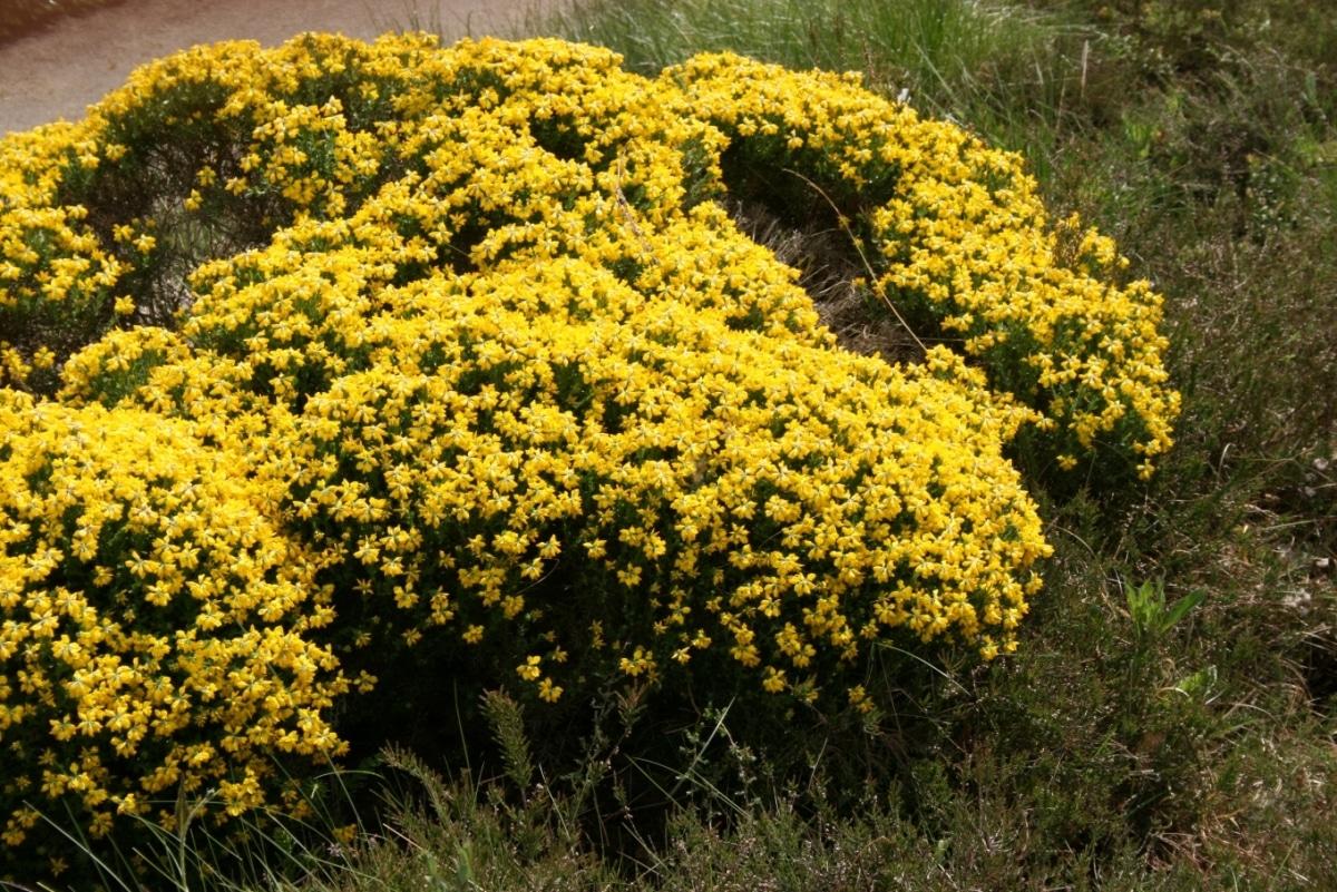 La Genista hispanica es un arbusto de flor