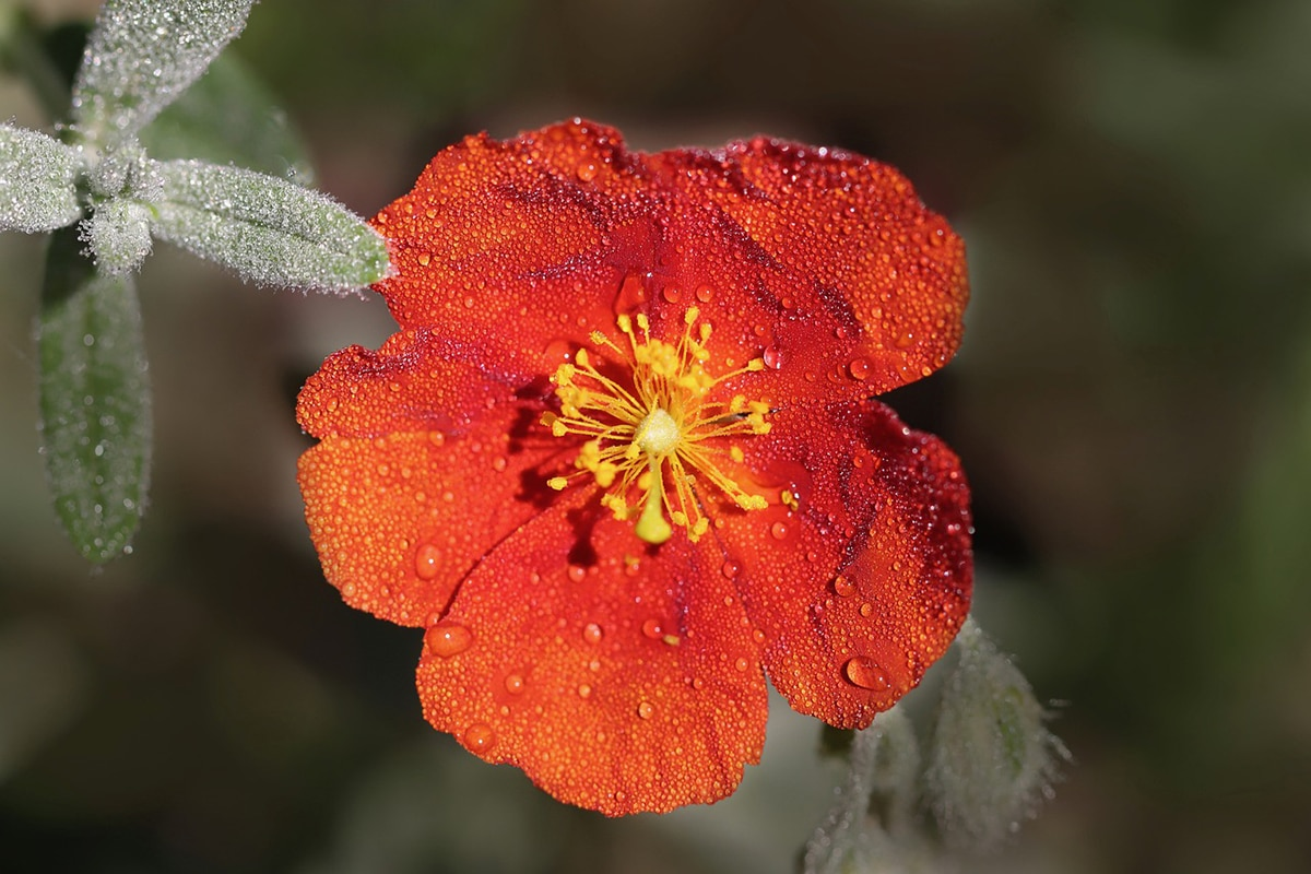 Existen sesenta especies de Helianthemum aceptadas