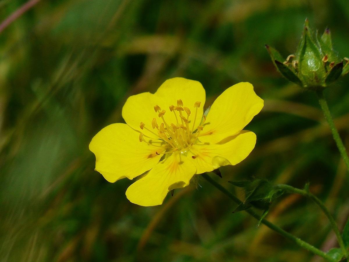 Helianthemum es un género de plantas con flor