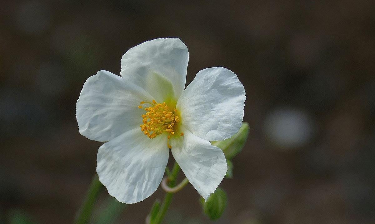 Los colores más habituales de las flores de Helianthemum son amarillo, blanco y naranja
