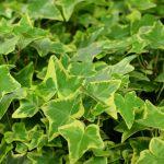 La hiedra es una planta que crece rápido