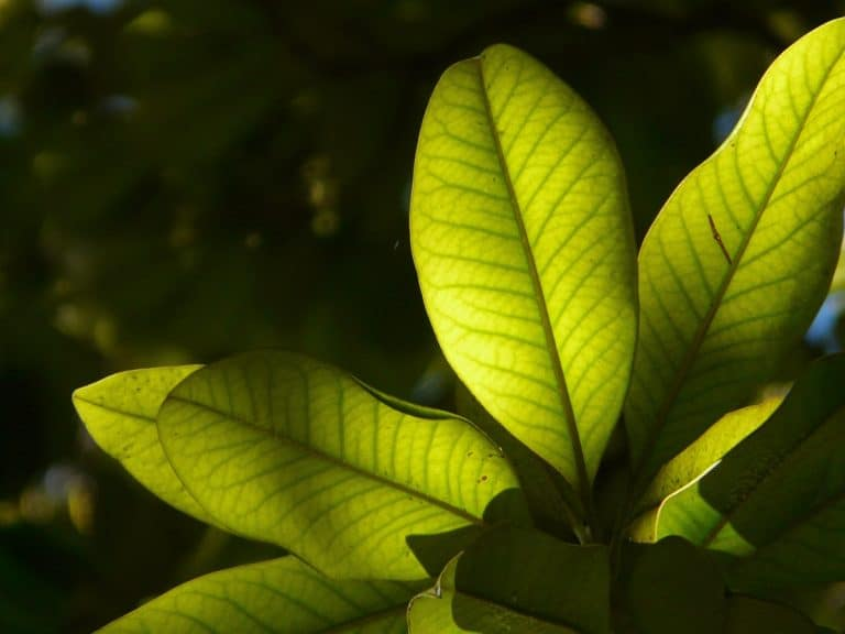 La hoja coriácea es resistente