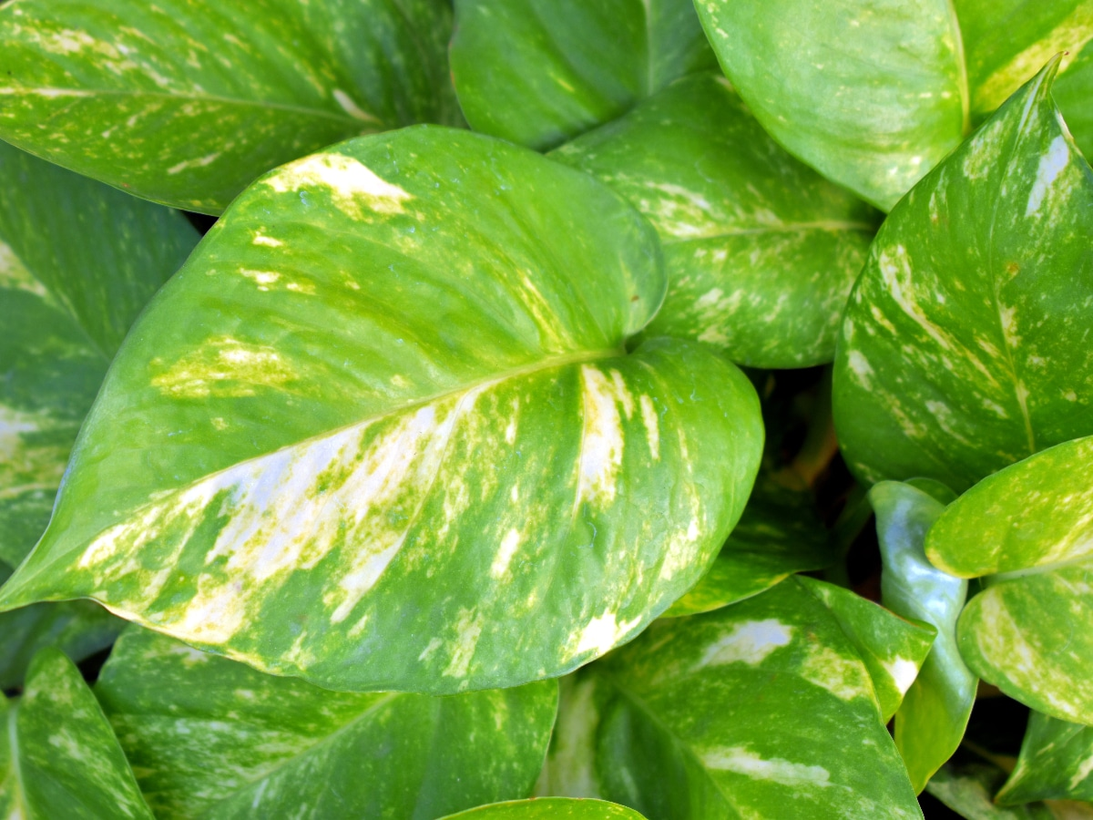 Las hojas del potos son verdes y perennes