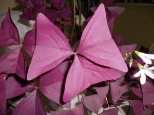 El trébol morado es una planta herbácea