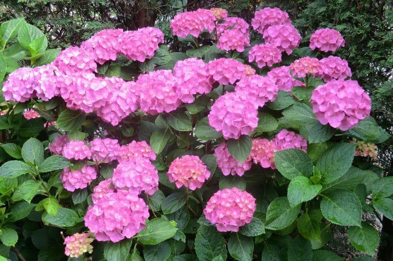 Las hortensias son arbustos que florecen muy bien en jardineras