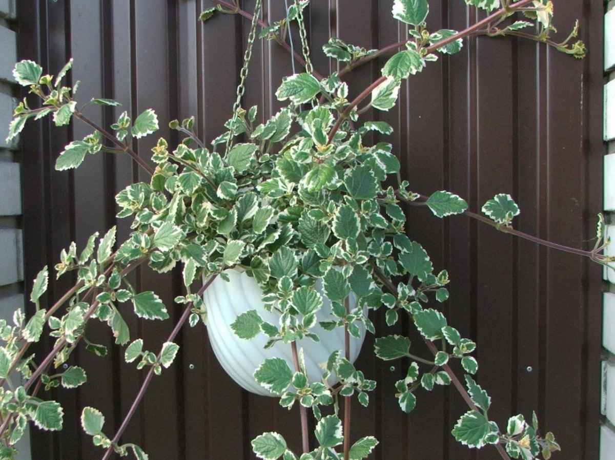 El incienso es una planta con hojas pequeñas