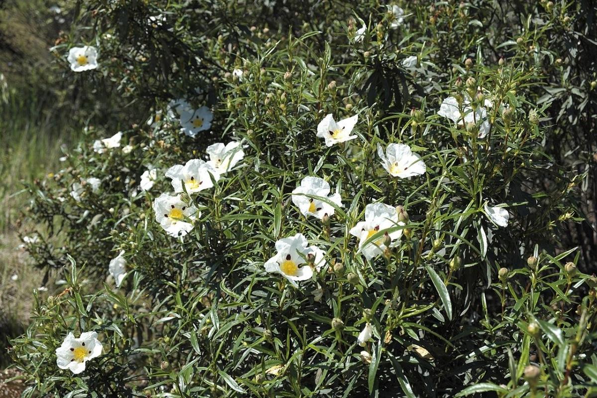 La jara es un arbusto que produce flores blancas