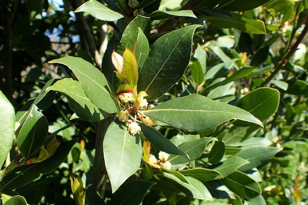 El laurel tiene las hojas verdes