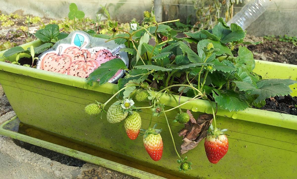 El mejor momento para plantar fresas es entre noviembre y marzo