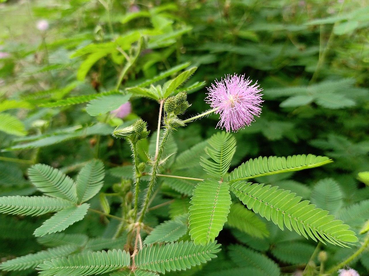 La Mimosa pudica es una hierba de hojas pequeñas