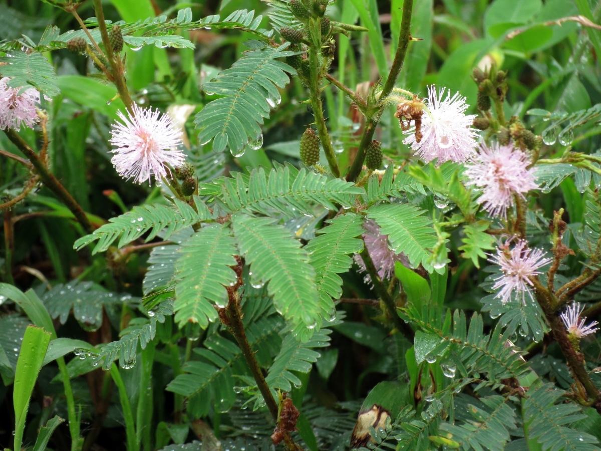 La Mimosa pudica es una leguminosa que cierra sus hojas