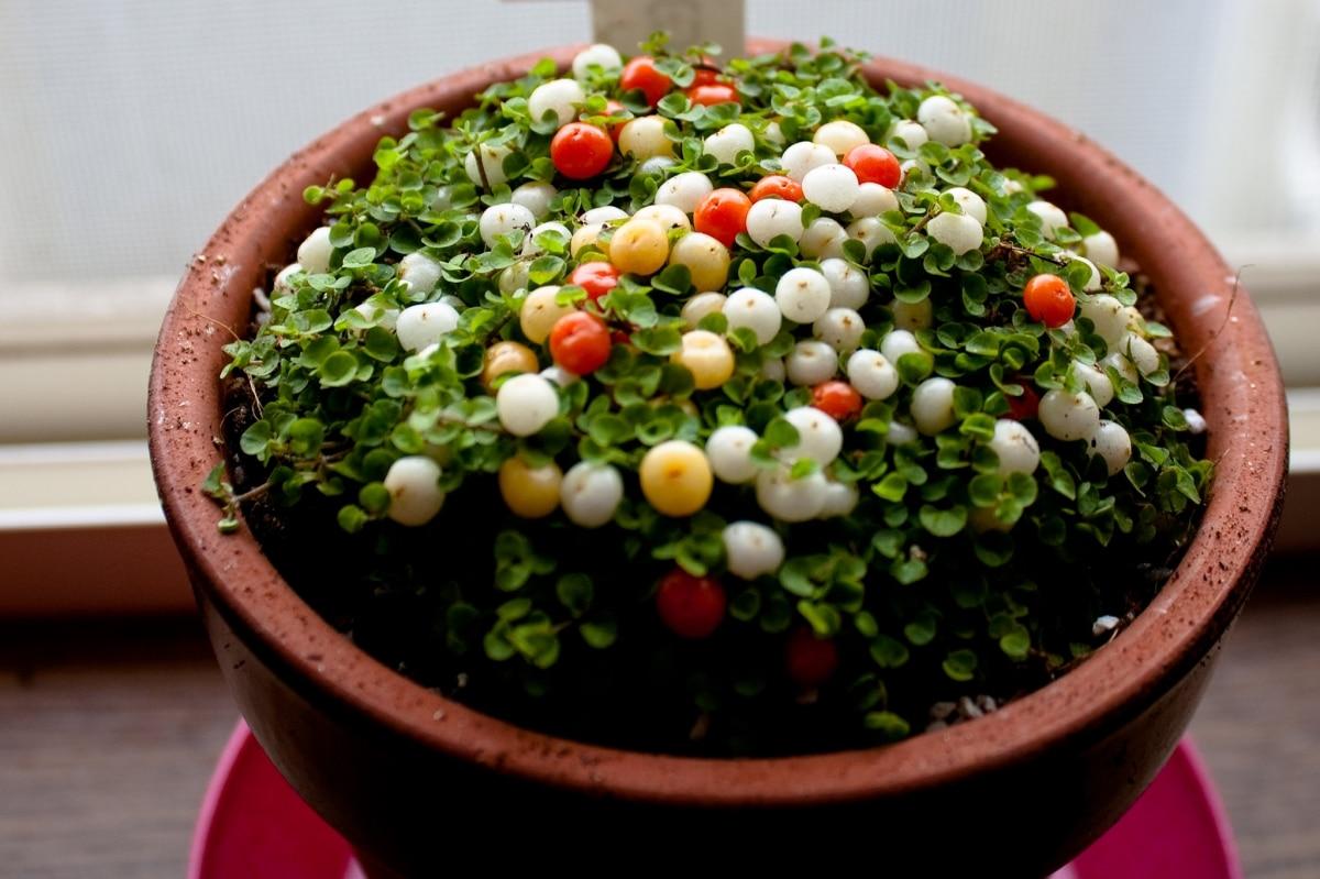 La nertera es una planta pequeña
