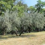 El oilvillo es un árbol que da buena sombra