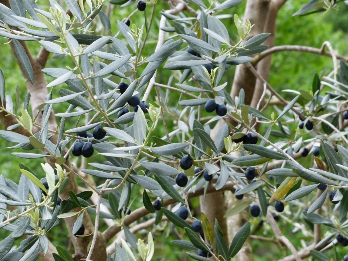 Las hojas del olivo son coriáceas