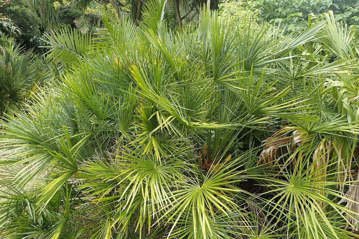 El palmito es una palmera multicaule