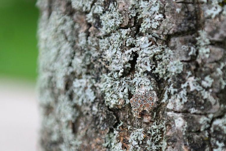 La Parmelia tiliacea se puede encontrar en el centro y en el sur de España