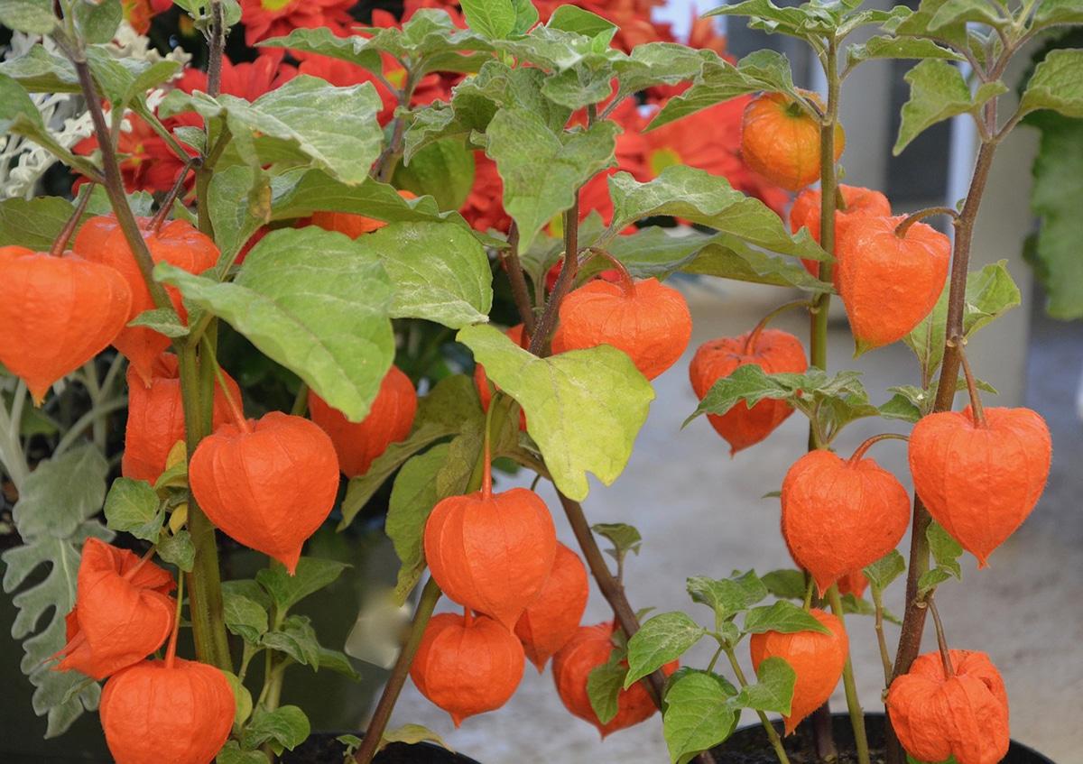 El cultivo del Physalis se realiza sobre todo en climas tropicales