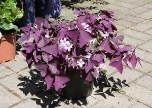 La planta mariposa tiene las hojas moradas