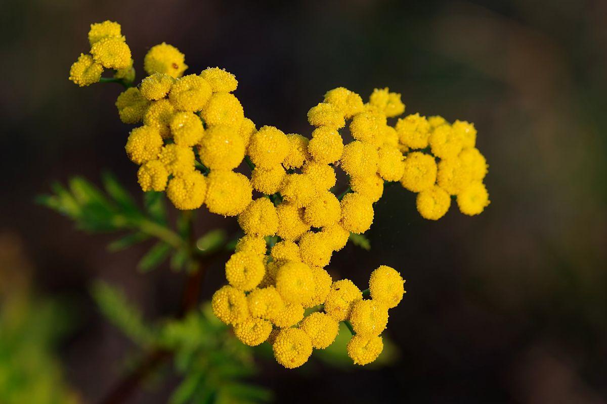 Tansy plantas antimoscas