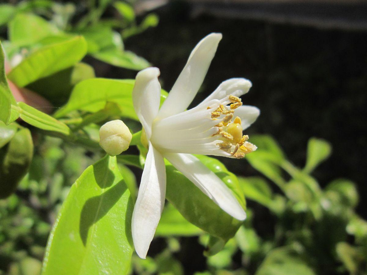 por qué se caen las flores del limonero
