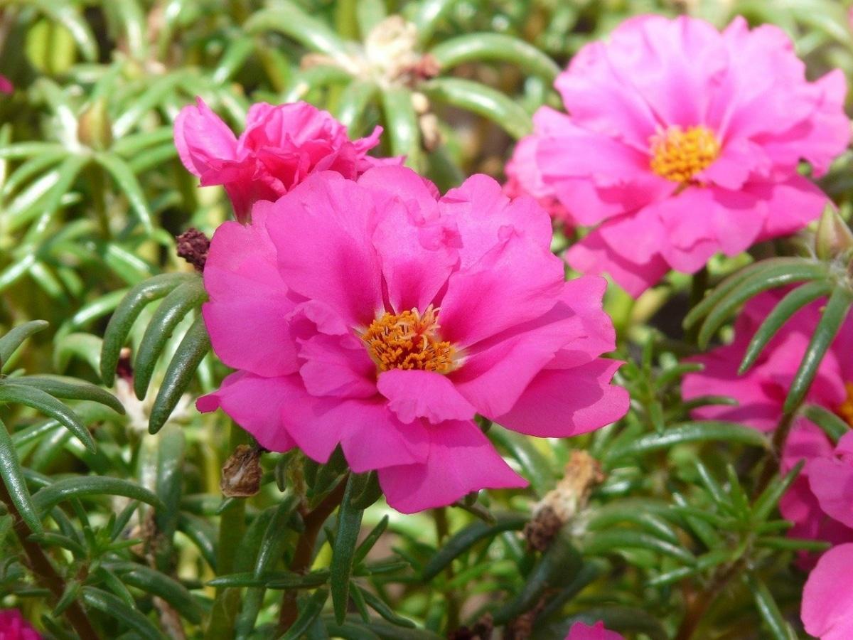 La portulaca grandiflora es una planta que produce oxígeno por la noche