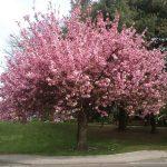 El cerezo japonés es un árbol que da muy buena sombra