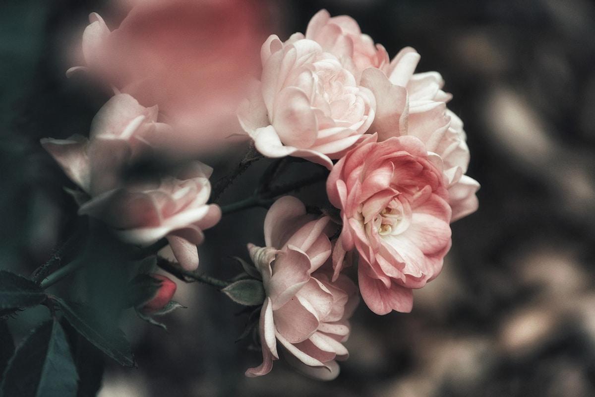 Existen cuatro métodos para plantar esquejes de rosal