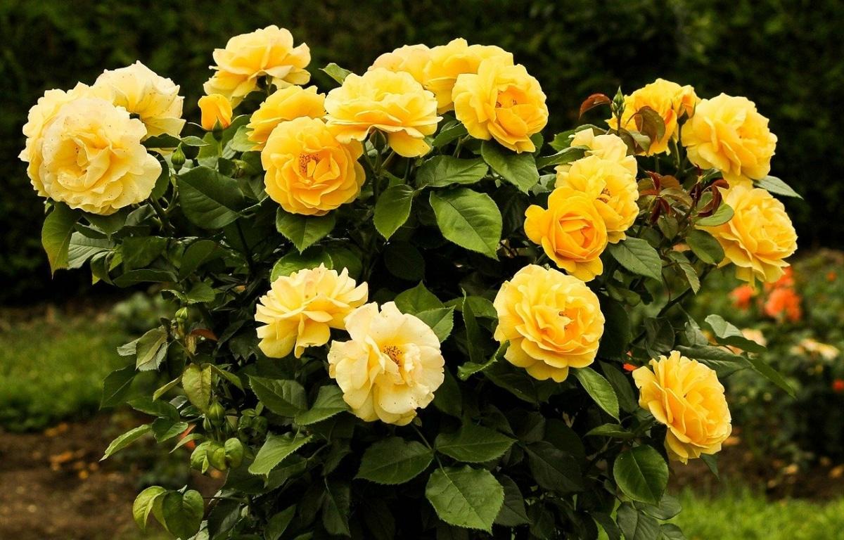 Los rosales son arbustos idóneos para jardineras