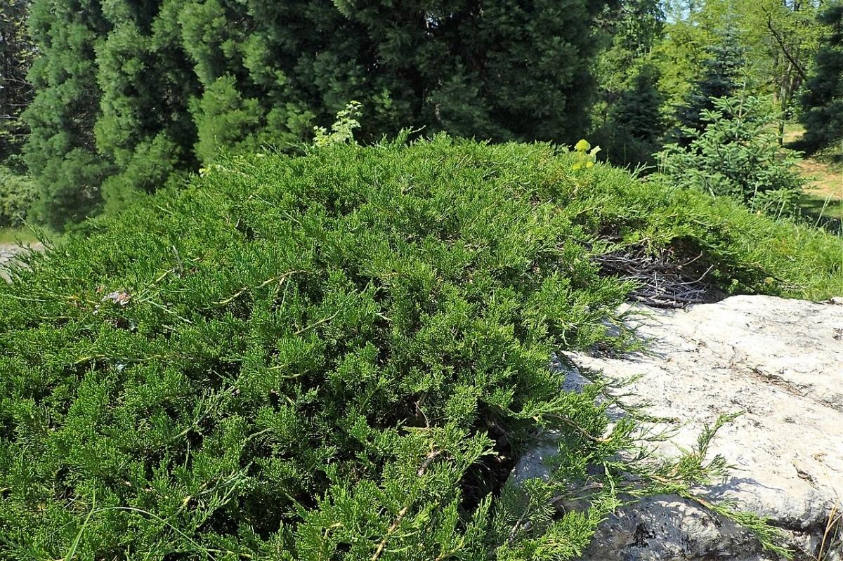 La sabina es un arbusto de hoja perenne
