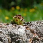 Los sempervivum crecen sobre piedras sin problemas