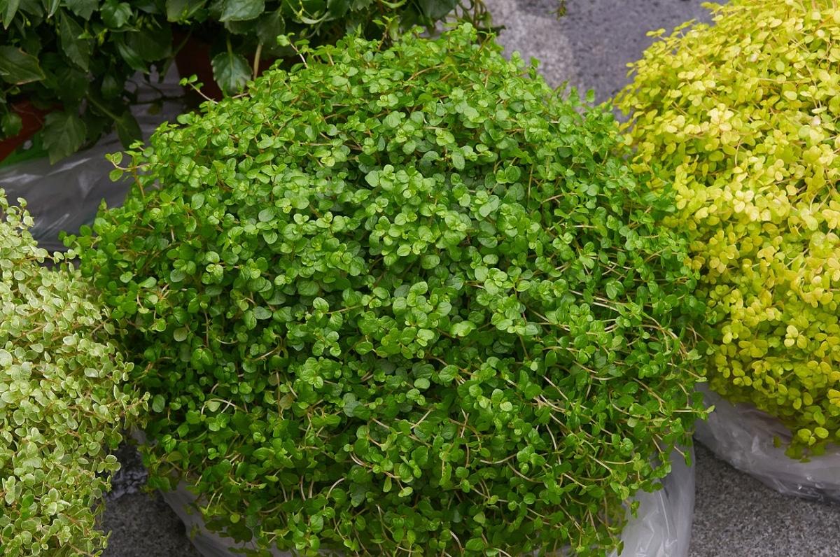 La soleirolia tiene las hojas verdes
