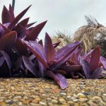 La purpurina es una planta que puede crecer sobre piedras