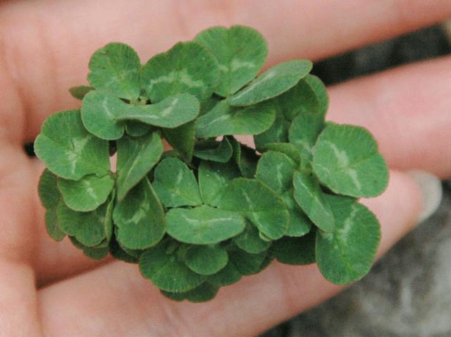 Los tréboles pueden tener muchas hojas