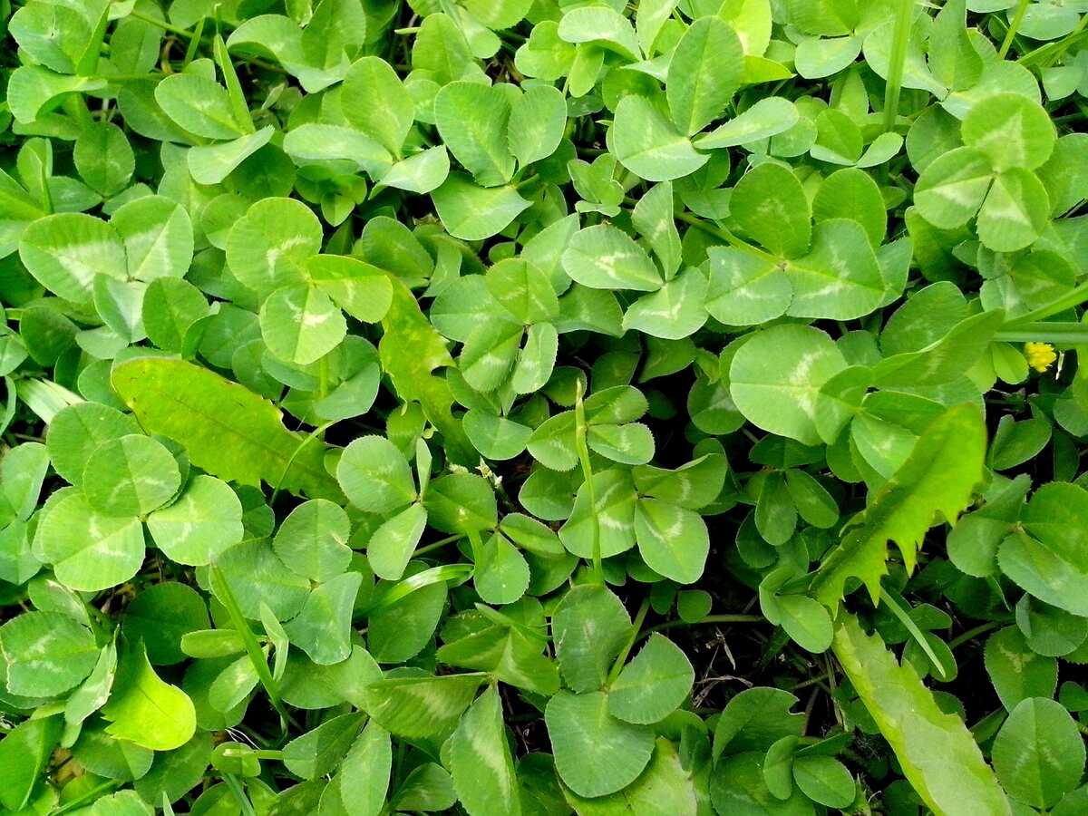 Los tréboles son hierbas anuales de rápido crecimiento