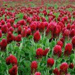 El trébol incarnatum tiene las flores rojas