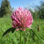 El Trifolium pratense es una hierba de flor rosa