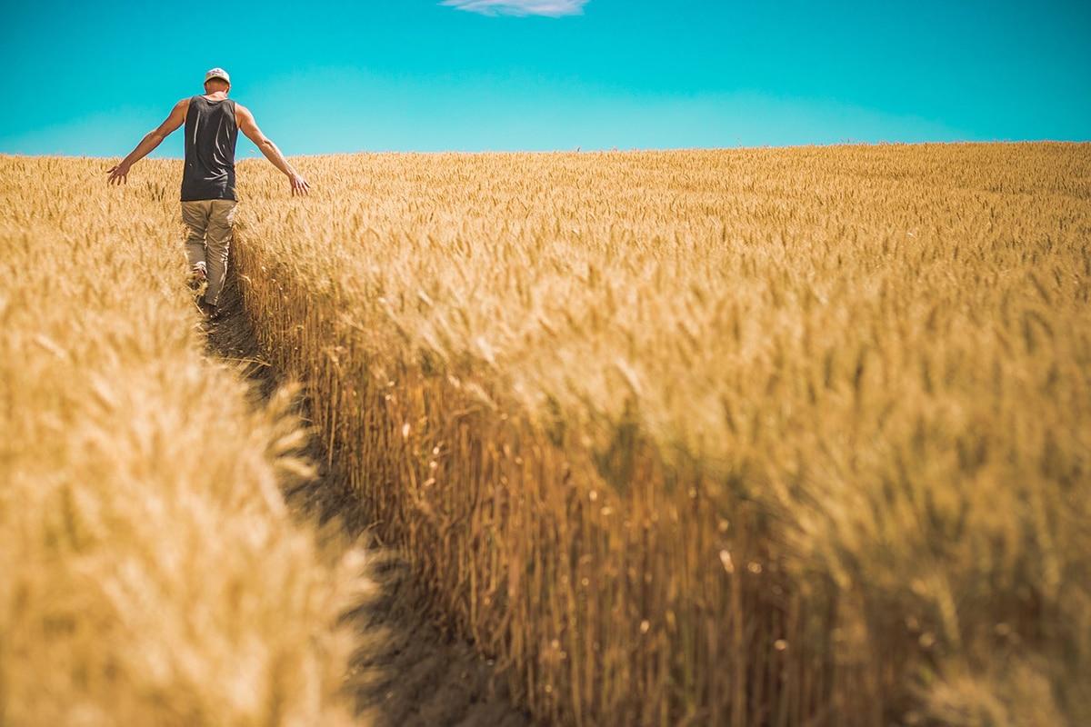 El trigo es el segundo cultivo más representado en España