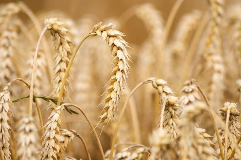 Existen diferentes variedades del trigo