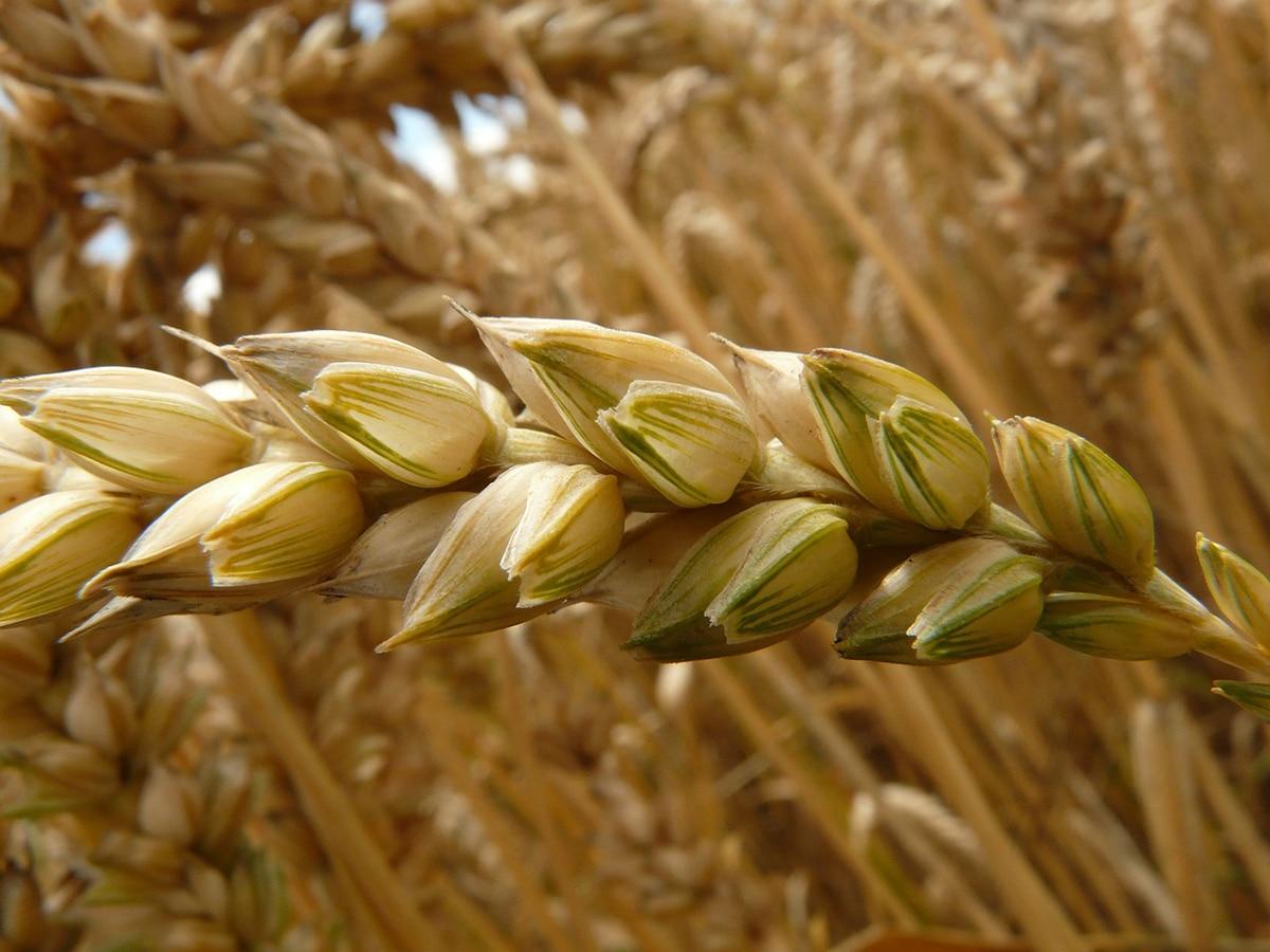 El trigo se originó en la civilización mesopotámica de Egipto