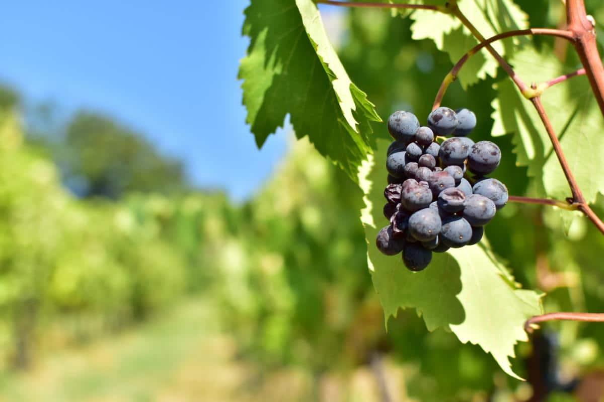 Las uvas se recolectan en invierno