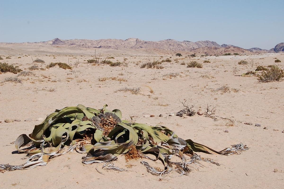La Welwitschia es una planta del desierto