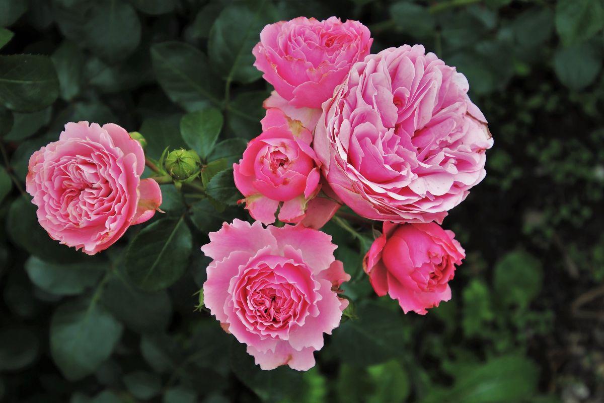 Cuántas variedades de rosas existen
