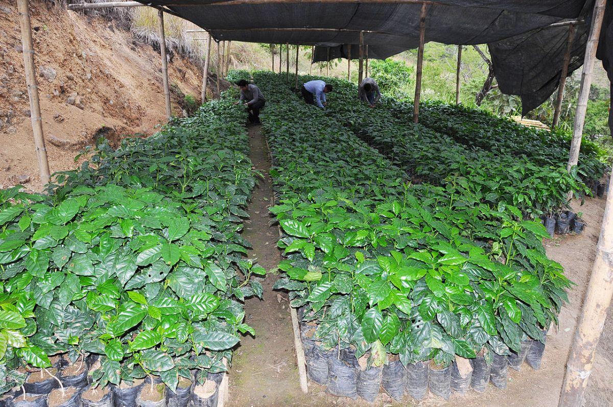Qué se necesita para cultivar café