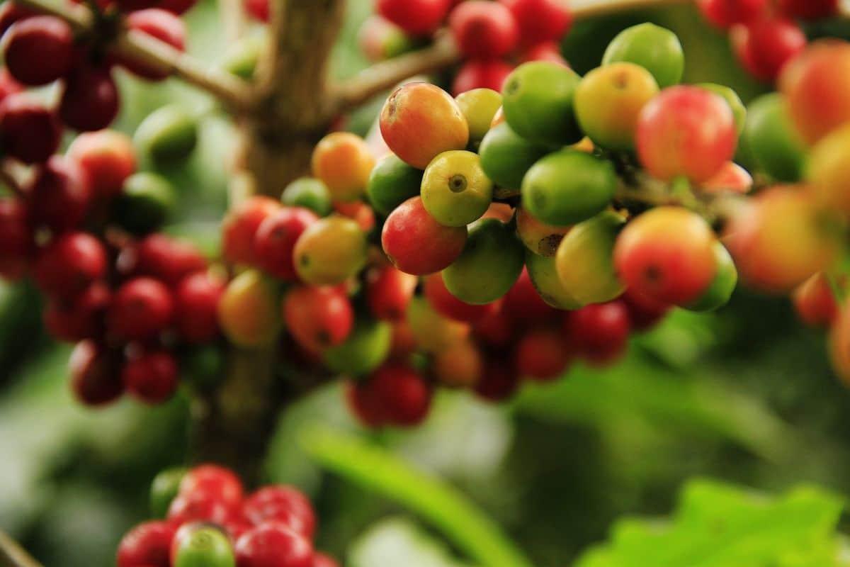 Sembrar café en el huerto