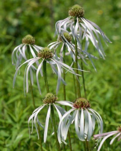 La Echinacea pallida tiene las flores blancas